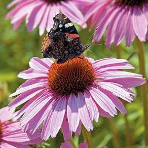 "PINK PARASOL CONEFLOWER ""Echinacea Purpurea"" ~NEW~ 25+ Perennial Seeds"