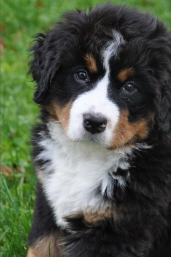 - An Oh So Cute Puppy!  A Bernese Mountain Dog Pet Journal: 150 Page Lined Notebook/Diary