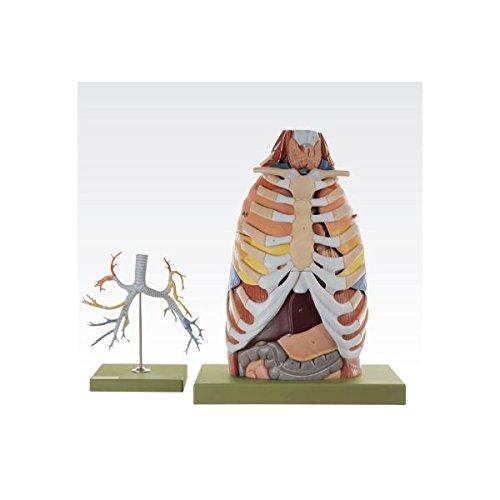 【SALE】 胸部解剖模型 (17分解)/人体解剖模型 (17分解) J-125-0 等身大 等身大 J-125-0 B077JMQBZW, PLEASURE TREE:96023555 --- a0267596.xsph.ru