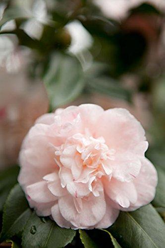 Pink Flowers III, Fine Art Photograph By: Karyn Millet; One