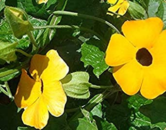 ASTONISH SEEDS: Planta ergia amarillo (-Eyed Susan e) 200 ...