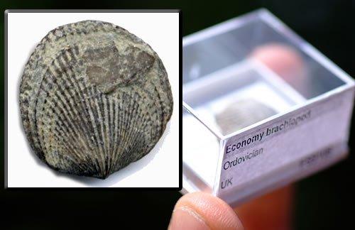 FS9109: Economy ordovician brachiopod