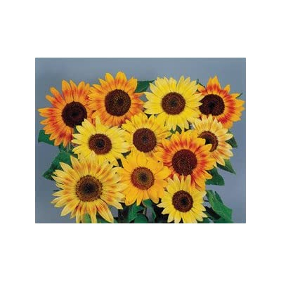 Helianthus (Sunflower) Musicbox 250 seeds: Home & Kitchen