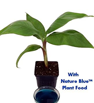 Amazon.com : Dwarf Banana Plant - Musa - With Nature Blue Plant ...