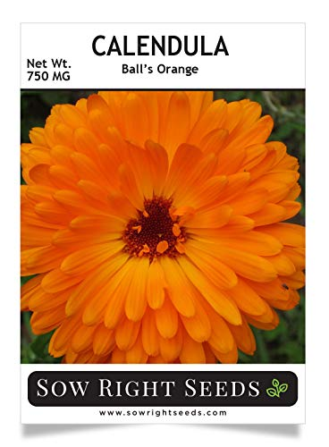 Sow Right Seeds - Ball's Orange Calendula Seeds for Planting, Beautiful to Plant in Your Flower Garden; Non-GMO Heirloom Seed; Wonderful Gardening Gift (1 Packet) (Best Flowers To Plant In Garden)