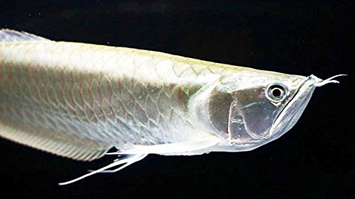 WorldwideTropicals Live Freshwater Aquarium Fish - 4-5.5 Silver Arowana Fish - 4-5.5 Silver Arowana - by Live Tropical Fish - Great For Aquariums - Populate Your Fish Tank! from WorldwideTropicals