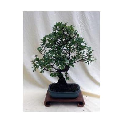 "Specimen Chinese Elm Bonsai Tree in 8"" Bonsai Pot, From Hollow Creek Bonsai: Garden & Outdoor"