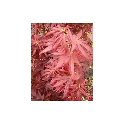 Skeeters Broom Dwarf Japanese Maple - 1 Year Live Plant : Garden & Outdoor