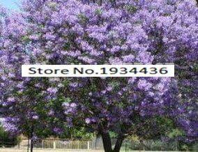 11.11 En oferta! 50 / bolsa de semillas de rápido crecimiento Paulownia púrpura semillas de árboles raros para la decoración de establecimiento casa: Amazon.es: Jardín
