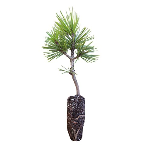Bosnian Pine | Medium Tree Seedling | The Jonsteen Company - Own Pine Tree