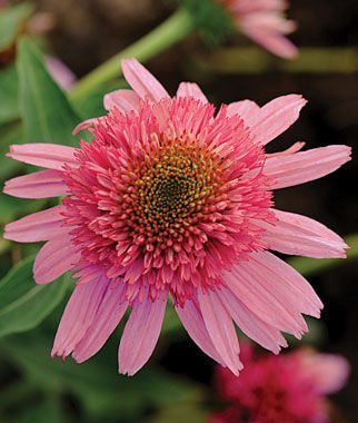 Double Scoop Bubble Gum Coneflower Seeds (Echinacea) 50 Seeds Upc 647923988925