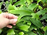 6 Fast Growing Baby Staghorn Ferns - Netherlands Variety