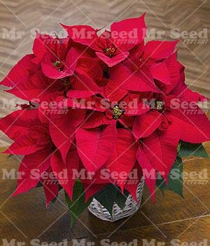 zlking 100 Pcs Seeds Only Poinsettia, Euphorbia Pulcherrima, Rare Flowering Seeds Only s,Balcony Potted ing Red