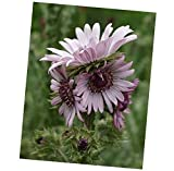 Seeds Berkheya Purpurea 15 Seeds, Purple Berkheya African Perennial Plants