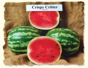 David's Garden Seeds Fruit Watermelon Crispy Critter DGS516GV (Red) 25 Hybrid Seeds
