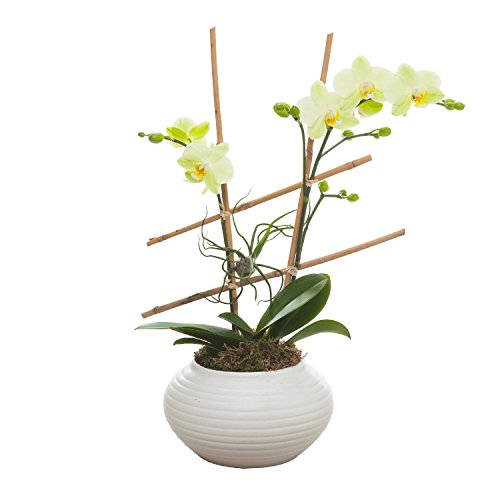 Living Phalaenopsis in Ribbed Ceramic pot with Airplant and hand made Bamboo trellis - Petite Light Yellow Blooms