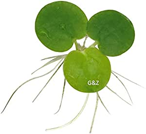 12 Amazon Frogbit (Limnobium Laevigatum), Live Aquarium/Aquatic Floating Plant by G&Z