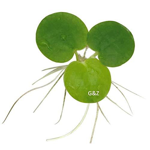 12 Amazon Frogbit (Limnobium Laevigatum), Live Aquarium /Aquatic Floating Plant by G&Z