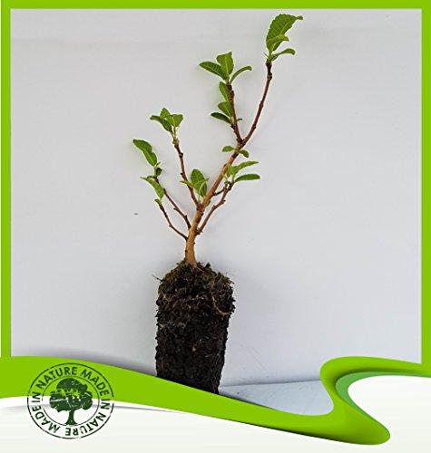 (Castanea sativa (Sweet chestnut) - Plant)