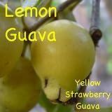 ~LEMON GUAVA~ Psidium cattleianium YUMMY FRUIT TREE Live Pot'd sml starter Plant