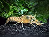 Aquatic Arts 1 Live Cajun Dwarf Crayfish