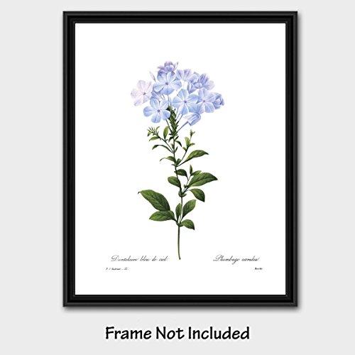 Blue Flower Art (Cottage Home Decor, Botanical Print by Redoute) Shabby Chic Artwork -- Unframed