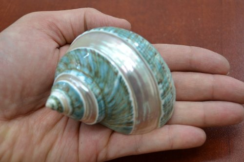 (Polished Green Jade Banded Turbo Sea Shell 3