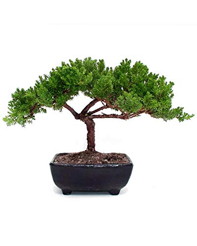 Small Juniper Bonsai - Live Plant - Green Gift - Bonsai Tree - Low Maintenance Plant - Ships Fast via 2-Day Air
