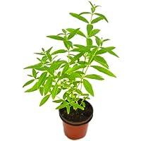 Hierba Luisa 10cm Cedrón Natural Planta Lippia Triphylla