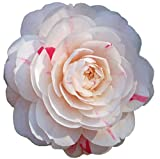 April Dawn Camellia Japonica - Live Plant - 2 Gallon
