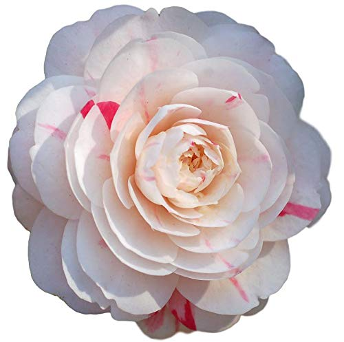 April Dawn Camellia Japonica - Live Plant - 2 Gallon