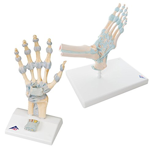 3B Scientific GmbH 3010303 Hand & Foot with Ligaments Kit, Grade: Kindergarten to 12, White/Blue (Pack of 2)