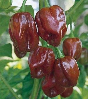 Jamaican Hot Chocolate - (15) JAMAICAN HOT CHOCOLATE PEPPER SEEDS