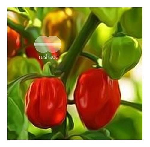 Red Savina Habanero Chili - chilli - 10 seeds for sale  Delivered anywhere in Canada