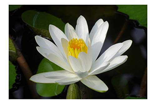 European White Water Lily Flower 10 Seeds Aquatic Plant Star Shape Flowers Ponds water features and Gardens White Lotus Nymphaea alba