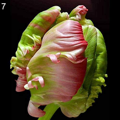 (Rose Iris Tectorum Perennial Garden Plant Seeds Flowers, Pack of 30 Seeds by Ammzzoo111, Parrot Tulip Ball Seeds Flower Plant Home Garden Roof Bonsai Balcony Decor - 7# Tulip Seeds)