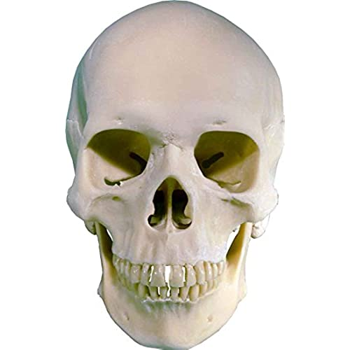 real human skeleton skull amazon com