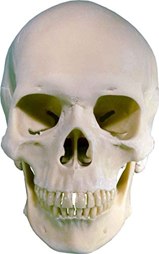 Life Size Human Skull Replica Model 3093001 By Nose