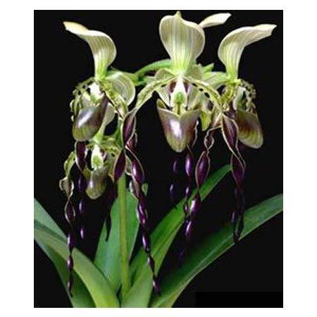 Bonsai Flower Slippers Room Italian Style Cypripedium Balcony Potted Garden Pocket Slipper Orchid 100PCS