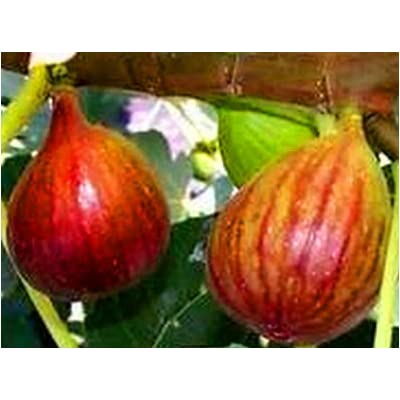 "Fresh Brown Turkey Fig Unrooted Cuttings (4), 6-8"" Long, Grow your own tasty figs : Garden & Outdoor"