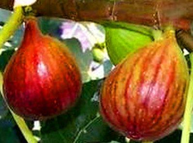 Fresh Brown Turkey Fig Unrooted Cuttings (4), 6-8