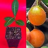 Imbe Garcinia Livingstonei Orange African Mangosteen Tropical Fruit Tree Plant