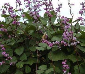 Ruby Moon Lablab purpureus Ruby Moon THREE LIVE PLANTS! 3 Hyacinth Bean Vine