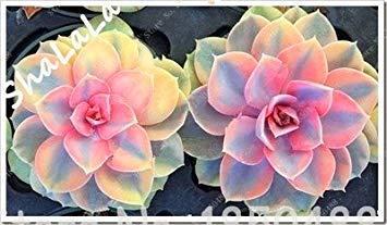 PLAT FIRM Germination Les graines PLATFIRM-100 Jardin Serre Cactus graines rares Plantes vivaces Succulent herbes, graines Bonsai Pot de Fleurs, de plantes d'intérieur Absorber FormaldéHyde 16