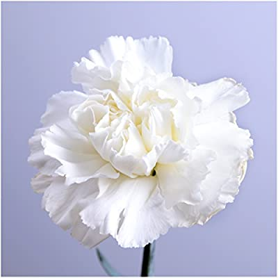 Package of 500 Seeds, Grenadin White Carnation (Dianthus caryophyllus) Non-GMO Seeds By Seed Needs