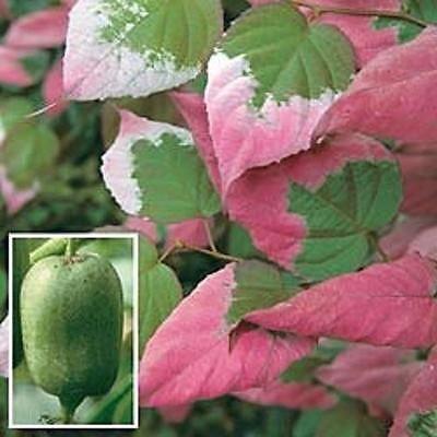 Arctic Beauty Kiwi Vine Seeds 20 Cold Hardy Kiwi Vine