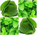 New Lemon Balm , Perennial Herb , HEIRLOOM , 235 + Seeds !