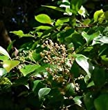 Syzygium smithii | Lilly Pilly | Monkey Apple | Acmena Eugenia | 10_Seeds