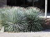 DESERT SPOON (Dasylirion wheeleri) 10 seeds