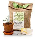 GiftTree Dawn Redwood Tree-to-Be - Tree Growing Kit - Grow Your Own Living Fossil - Grows Up to 2 ft per Year